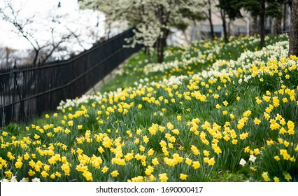 Daffodil blossoming with yellow and white colors and green grass.