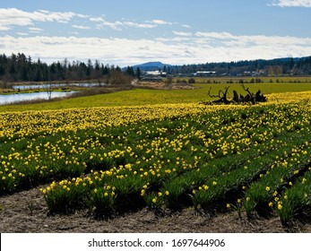 Daffodil field blooms in the springtime on Saanich Peninsula, Vancouver Island. Large stump of an old tree laying in the middle