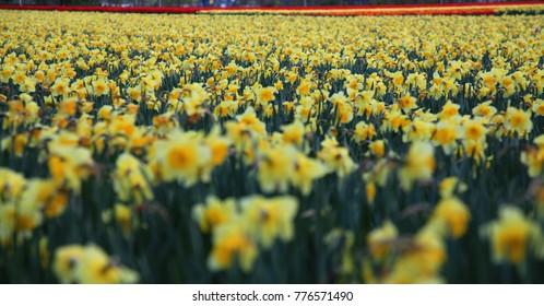 Daffodil field, Lisse Holland