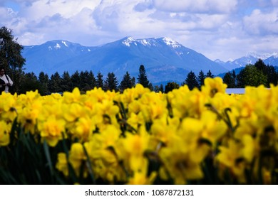 Daffodil fields in Chilliwack, British Columbia, Canada