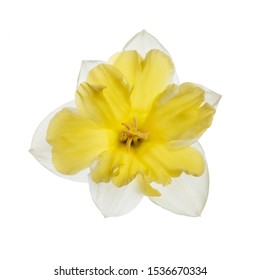 Daffodil flower with bright yellow center isolated on a white background.