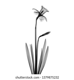 Daffodil flower and bud X-ray - monochrome on white.