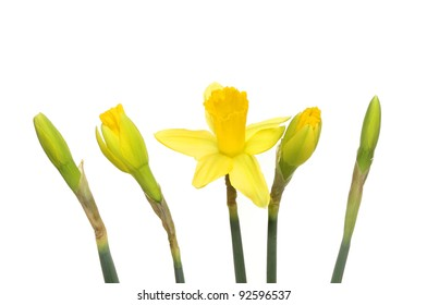 Daffodil flower and buds showing different stages of development