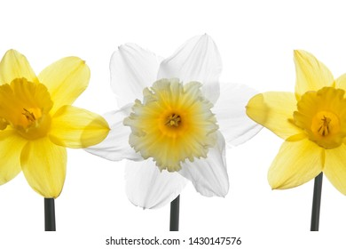 The Daffodil flower close up.