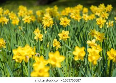 Daffodil flower garden during springtime.