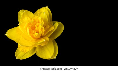 Daffodil flower  isolated on black. The daffodil is the national flower of Wales, and is worn on St David's Day