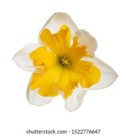 Daffodil flower isolated on white background.