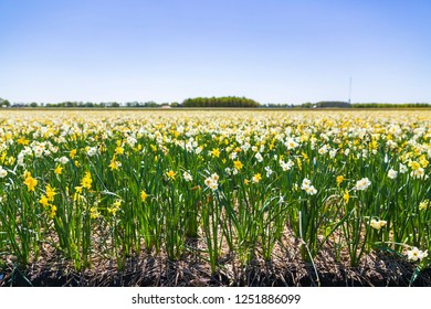 Daffodil flower or Lent lily, Narcissus pseudonarcissus, blooming in Dutch flower fields during Springtime on a sunny day and clear blue sky in Drenthe, the Netherlands.