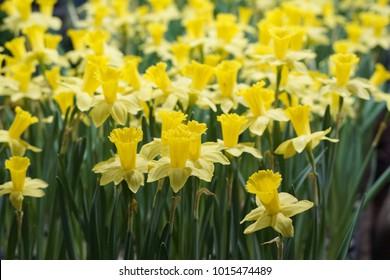 Daffodil flower  Daffodil flower Daffodil Narcissus flower