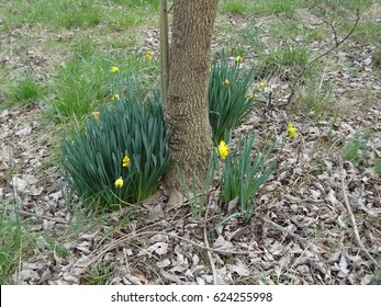 Daffodil flowers around a tree among fallen leaves and fresh green grass. East Tennessee, USA.