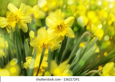 Daffodil flowers background in sunlight.