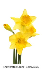 Daffodil flowers and bud isolated against white