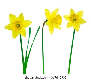 daffodil flowers with clipping path