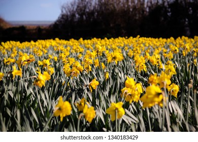 Daffodil flowers in early Spring
