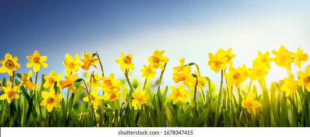 Daffodil flowers in the field