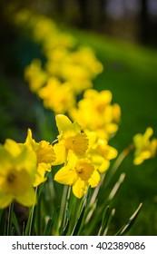 Daffodil flowers in the field