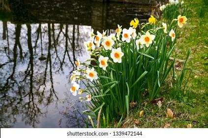 Daffodil flowers river shore scene. White daffodil flowers view. Daffodil flowers scene