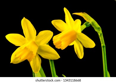 daffodil flowers in spring in Germany