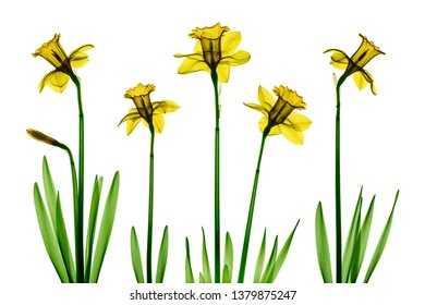 Daffodil flowers X-ray collage - colorized on white.
