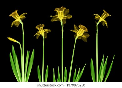 Daffodil flowers X-ray collage - colorized on black.