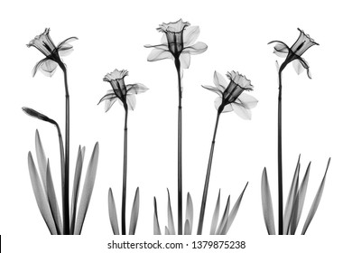 Daffodil flowers X-ray collage - monochrome on white.