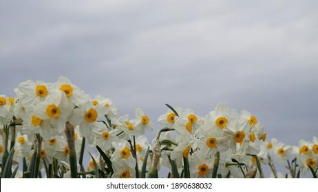 daffodil - Lent lily field