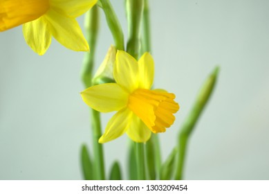 daffodil lights yellow and strong