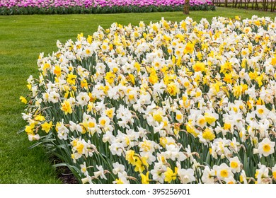 Daffodil multicolor flowerbed in the grass in the park at the day light