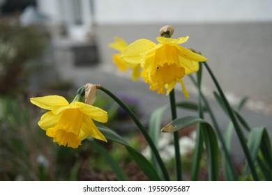 "Daffodil, Narcissus ""Dutch Master"" in the garden in April. Berlin, Germany"