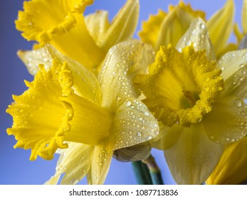 Daffodil Narcissus is a genus of mainly hardy, mostly spring-flowering, bulbous perennials in the Amaryllis family, subfamily Amaryllidoideae