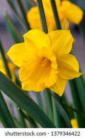 Daffodil (narcissus) 'Welsh Warrior' growing outdoors in the spring season