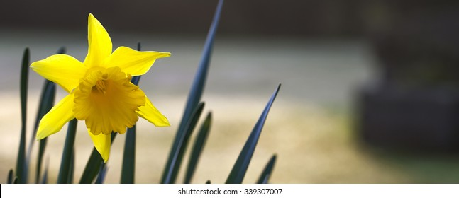 Daffodil, panorama / banner with text space.