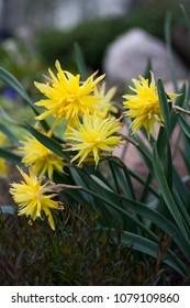 Daffodil Rip Van Winkle (narcissus) flowers in the rock garden, Latvia, Europe