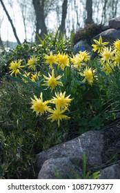 Daffodil Rip Van Winkle (narcissus), Phlox subulata (creeping phlox, moss phlox) and Festuca glauca (blue fescue) in the rock garden, Latvia, Europe.
