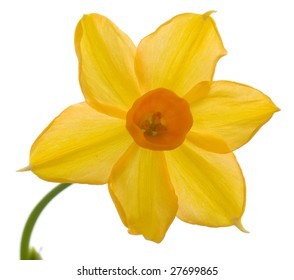 Daffodil and stem isolated on white background