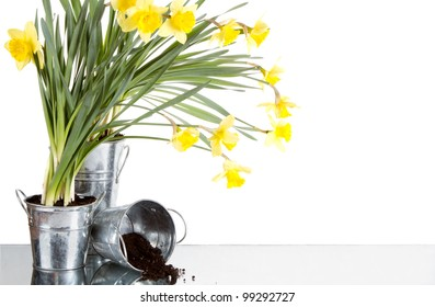 Daffodil still life growing in metal pots, soil spilling from container, isolated on white background
