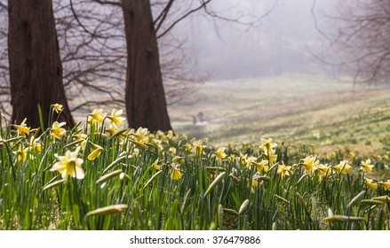 Daffodil valley early morning