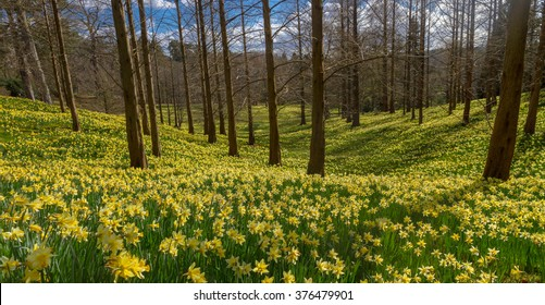 Daffodil valley on a sunny spring day