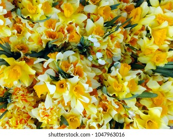 Daffodil yellow close-up pattern background view. Macro of first spring flowers narcissus bouquets in floral market from garden for sale. Flowering bright nice narcis holiday card design or wallpaper