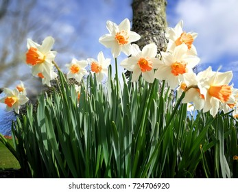 Daffodils (bacon and eggs)