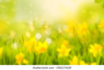 Daffodils and daffodils in beautiful natural landscape with bokeh in Background.