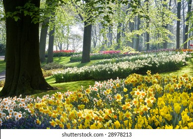 Daffodils and beech trees in spring in early morning in park