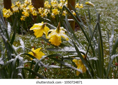 Daffodils bend under the weight of snow as winter turns to spring in England
