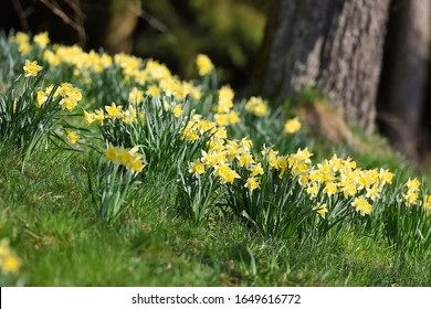 "Daffodils - The ""Märzenbecher"" is the best-known plant from the daffodil genus. Its large yellow flower consists of six individual petals and a cup-shaped crown."