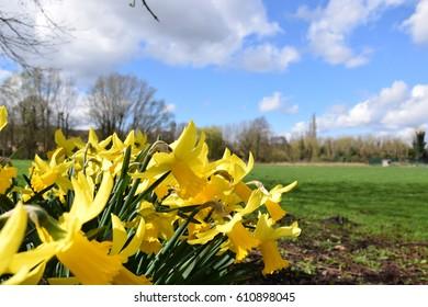 Daffodils Blue Sky Springtime