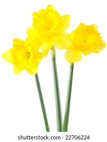 Daffodils close up on white background
