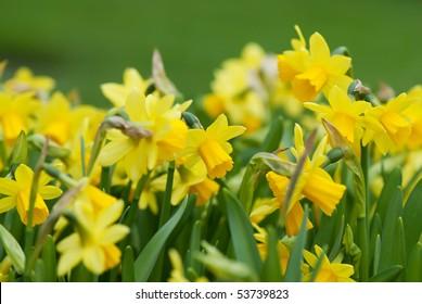 Daffodils closeup. Field with yellow daffodils.