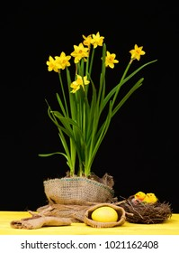Daffodils for Easter. Yellow narcissi wrapped in sackcloth standing on wooden table together with bird nest with little toy chickens and big easter egg in bag isolated on black background, still life