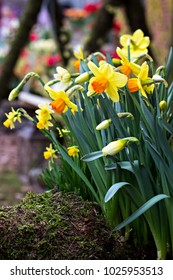Daffodils. Field of Daffodils.  Yellow narcissus flowers or flower bouquet with copy space.