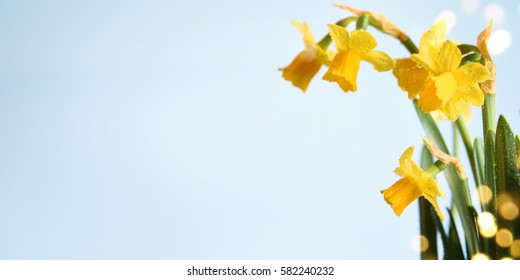 Daffodils flower. Spring background. Present for Mothers Day